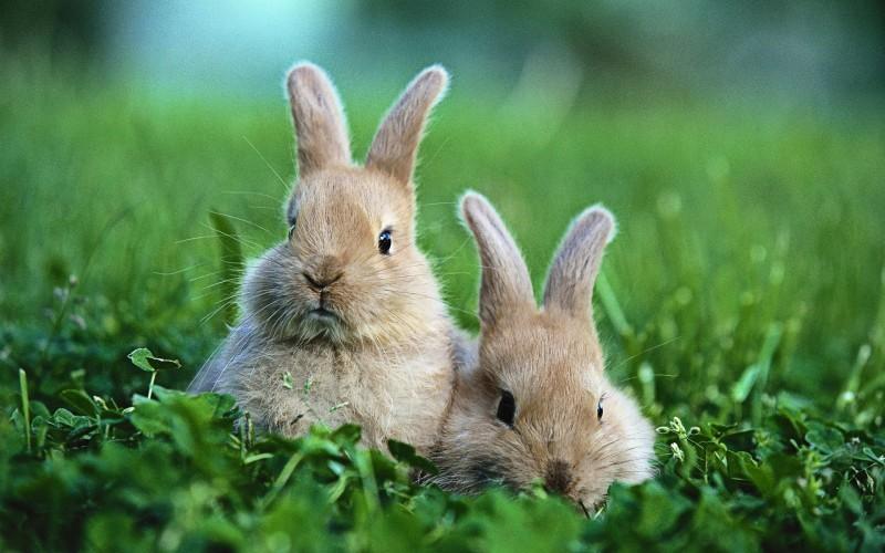 Здоровые кролики в естественной среде