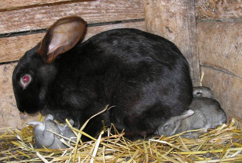 Черная кролиха кормит малышей