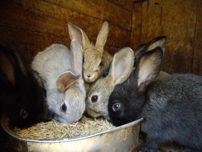 Кролики обедают зерном