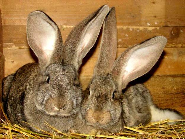 Пара кроликов породы Фландр