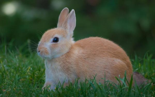 Рыжий кролик на траве
