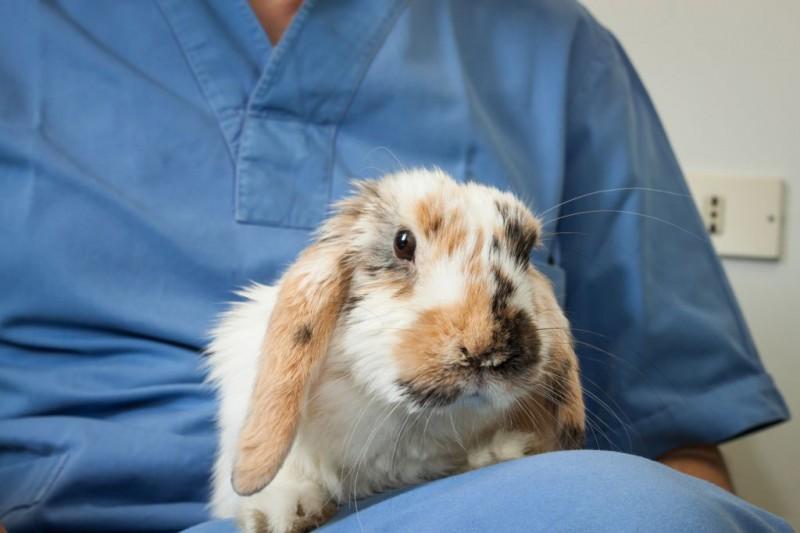 Кролик на приеме у ветеринара