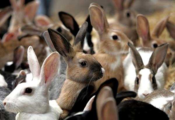 Много кроликов в кучке