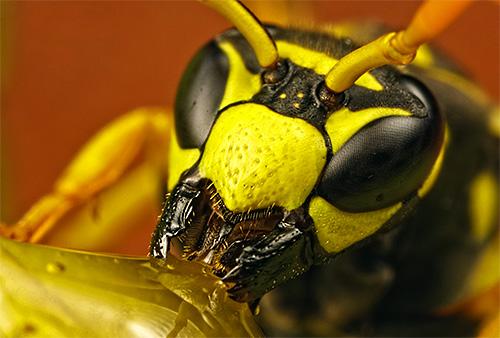 Голова осы крупным планом