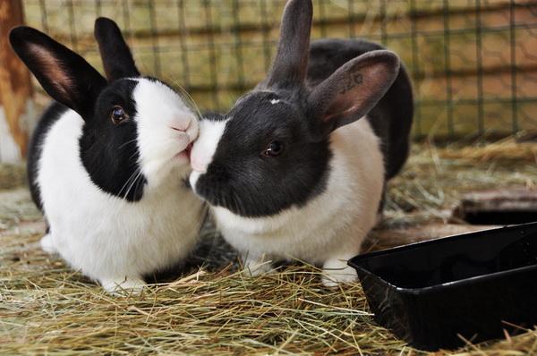 Крол ухаживает за крольчихой