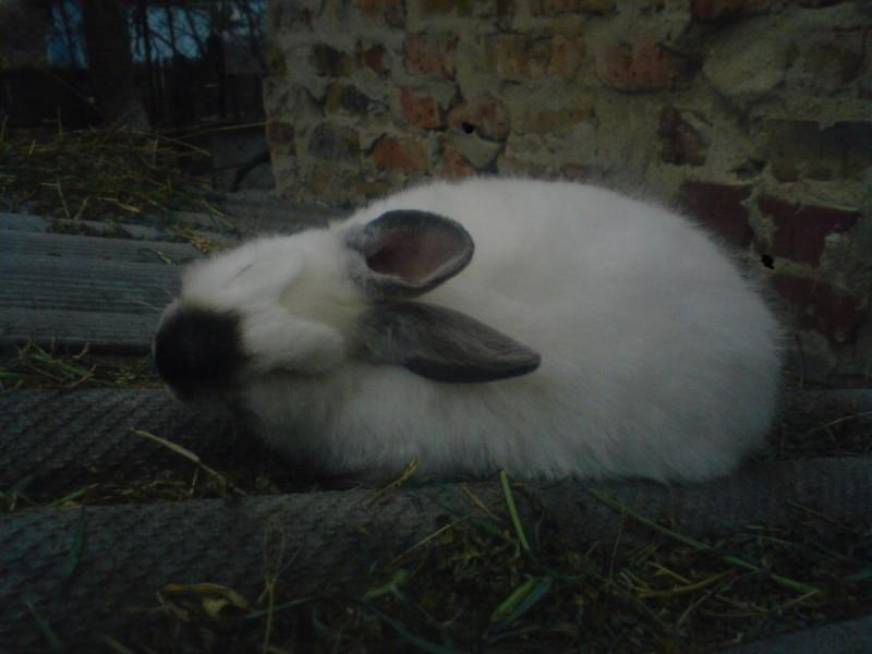 Парализованный кролик лежит на боку