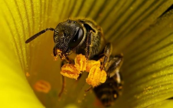 Рабочая пчелка с обножками на лапках