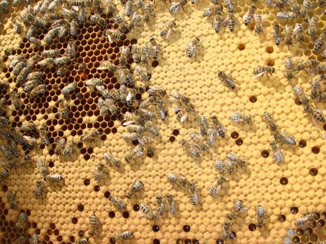 Пчелы запечатывают соты