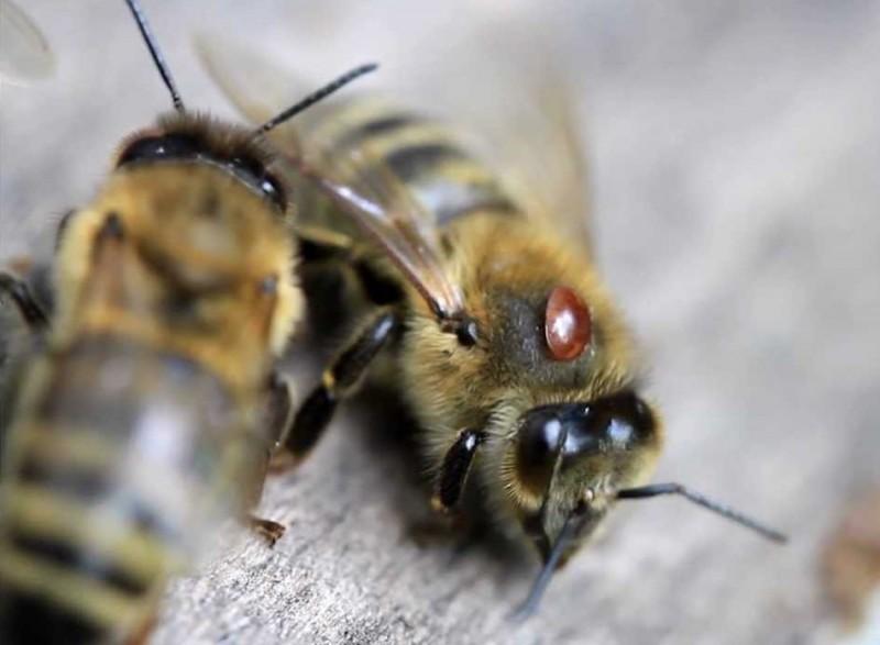 Пчёлы пораженные клещем