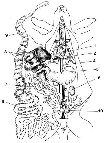 Схема системы пищеварения