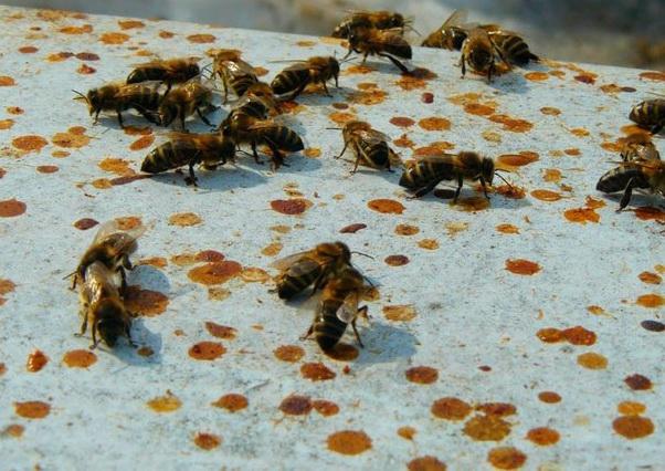 Пчелы с сильным проявлением диареи