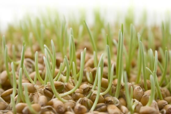 Пророщенная пшеница для кроликов
