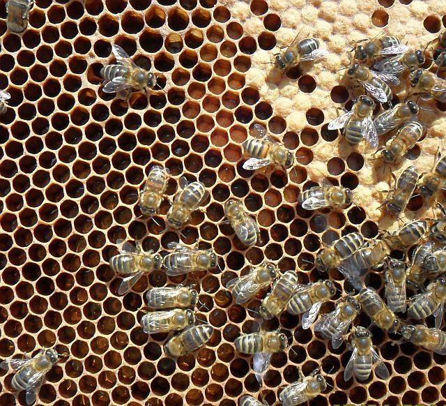 Пчелиная семья на сотах