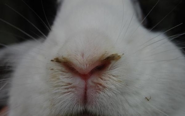 Проявление ринита у кролика