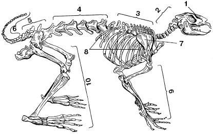 Схема скелета животного