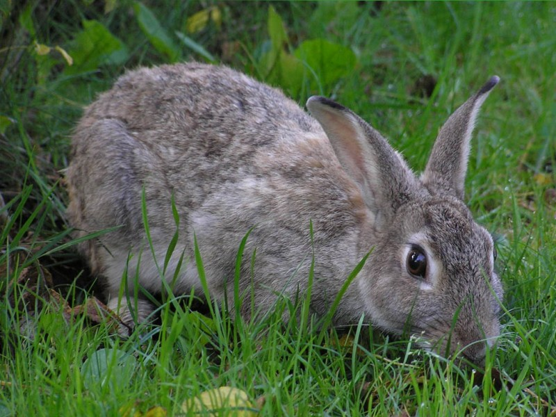 Серый кролик в траве