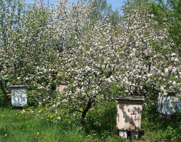 Улики в цветущих деревьях