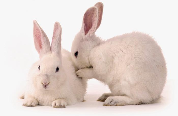 Белый кролик вытирает носик