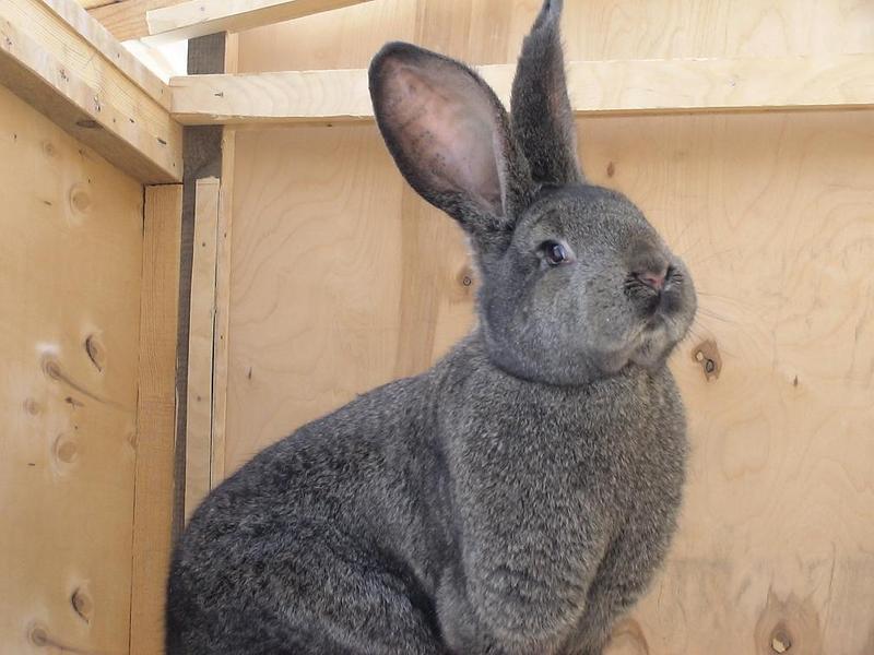 Бельгийский кролик Фландр в клетке