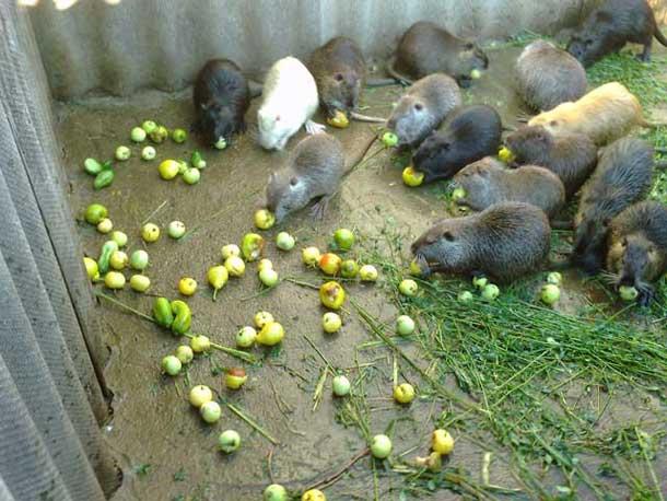 Молодняк ест яблоки и овощи с огорода