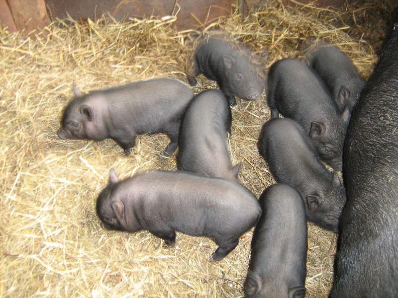 Малыши вислобрюхой свиноматки
