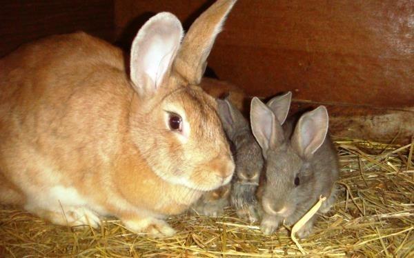 Крольчиха с крольчатами в домике