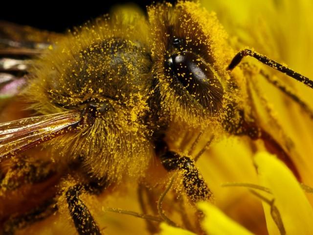 Пчелка обсыпана пыльцой крупным планом