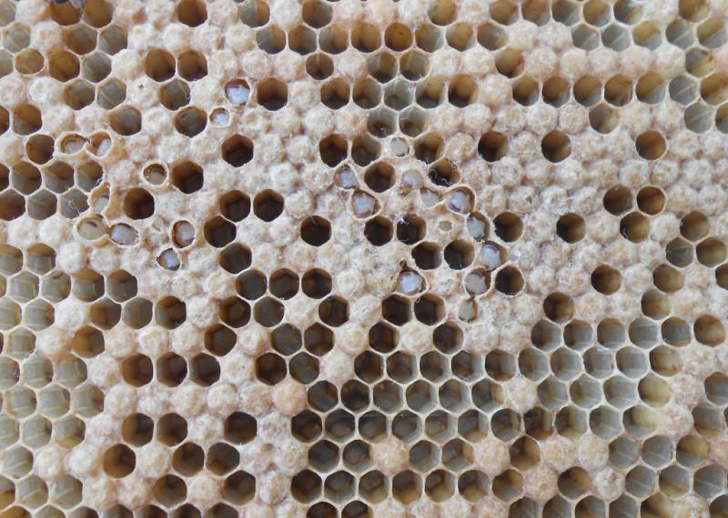 Аскосфероз пчел: симптомы недуга, лечение и видео