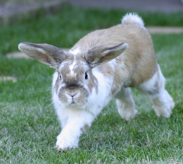 Бегущий бело-коричневый кроль