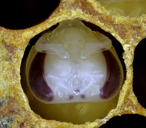 Голова личинки в соте