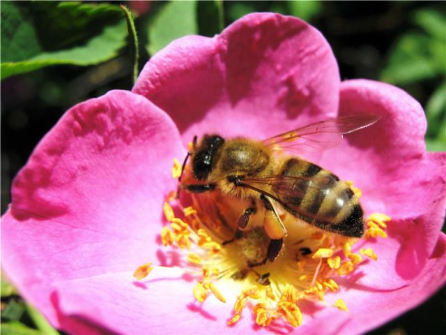 Пчела на ярком цветке