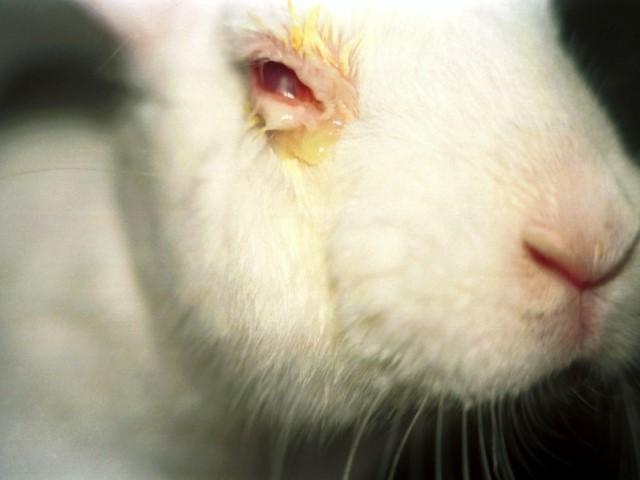 Глаз кроля, пораженный конъюнктивитом