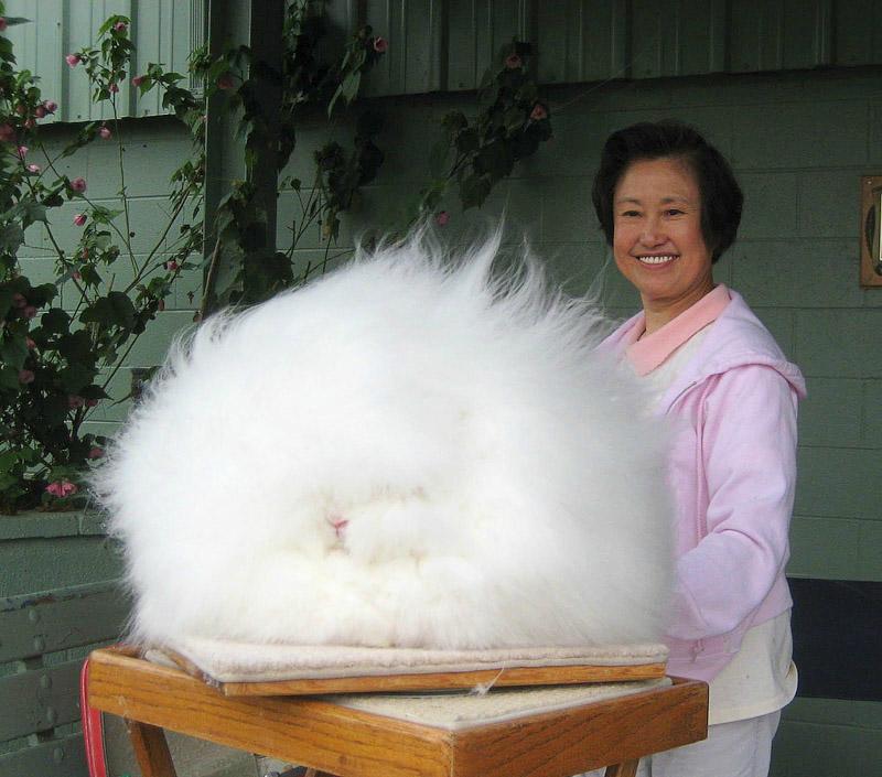 Стандартный вид китайского кролика