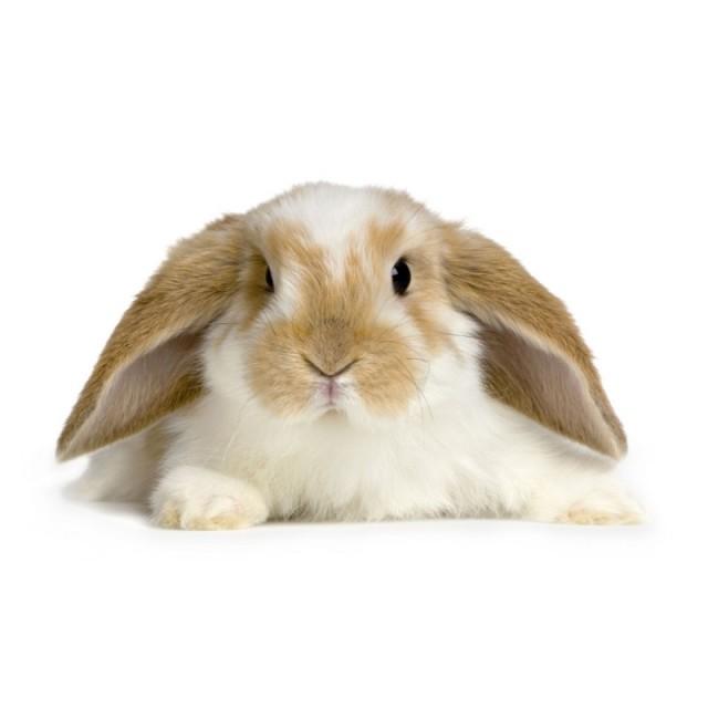 Декоративный кролик на белом фоне