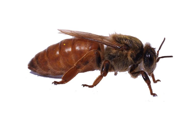 Матка пчелы крупным планом