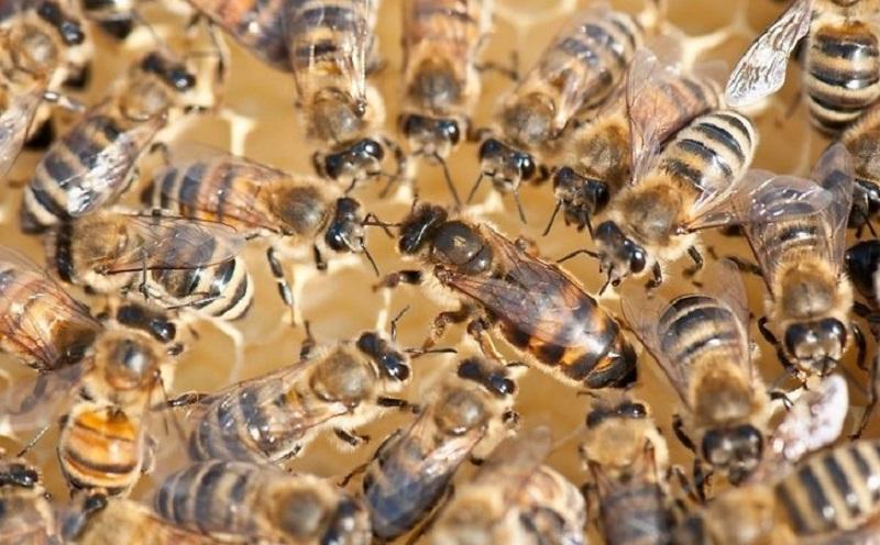 Матка окруженная пчелиной семьей