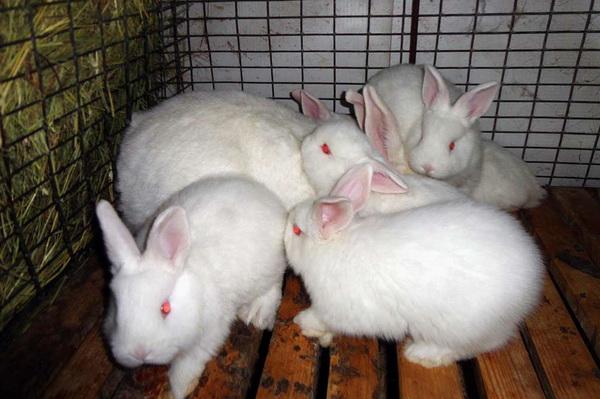 Новозеландский кролик: описание красной, белой и черной породы, их разведение и фото
