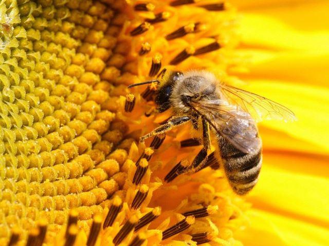 Рабочая особь собирает нектар с цветка