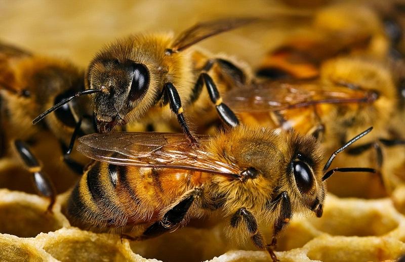 Пчелы медовые на сотах