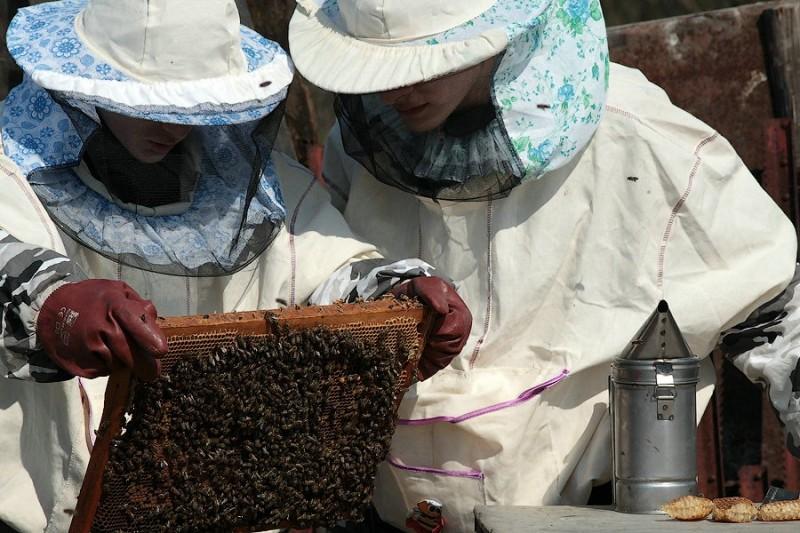 Пчеловоды осматривают пчелиную семью