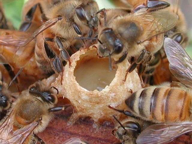 Пчелы запечатывают искусственный маточник