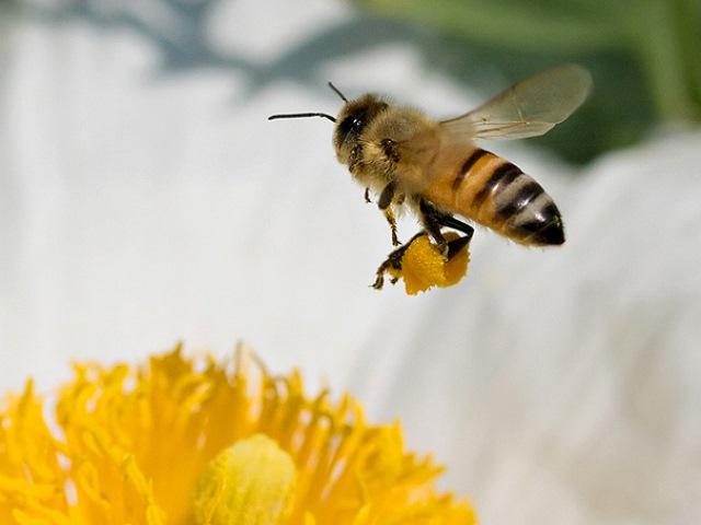 Насекомое переносит пыльцу на лапках