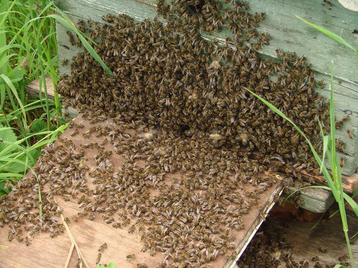 Пчелы улетают из улика