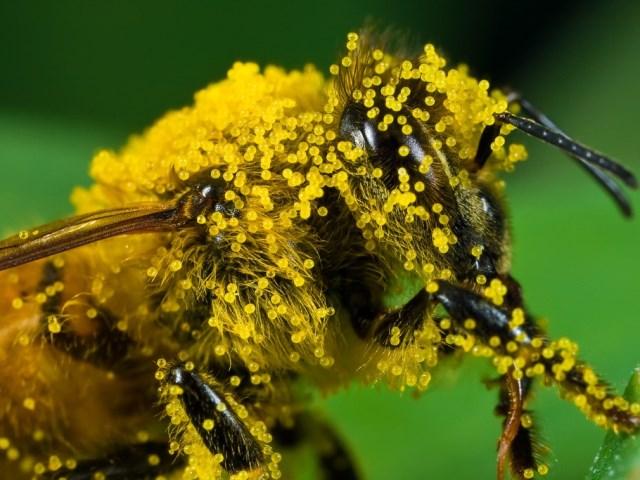 Частички пыльцы на волосках крупным планом
