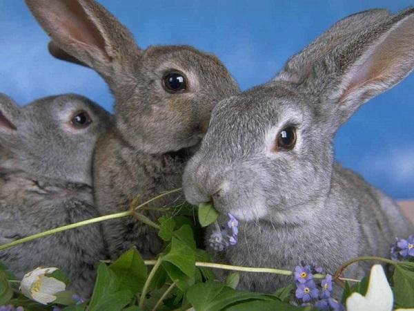 Кролик породы Серый великан: описание, фото и видео обзор