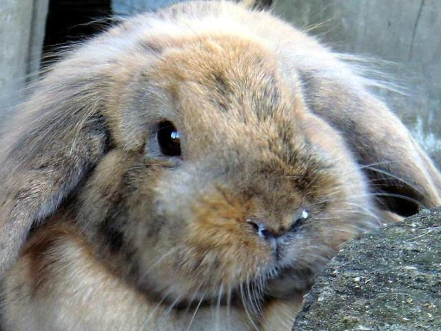 Ринит у карликового кролика