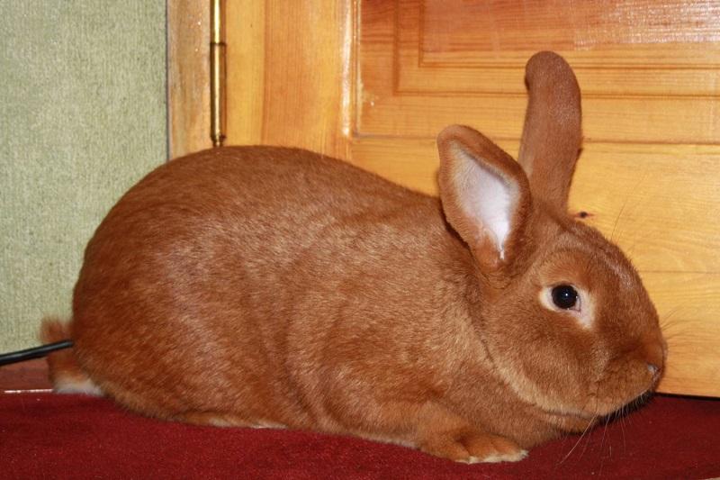 Обзор рыжих кроликов: описание и фото