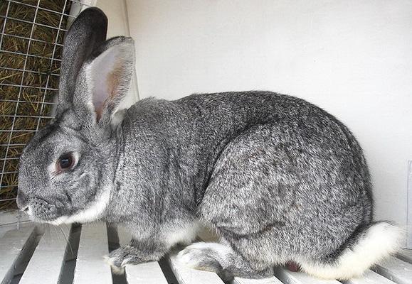 Кролик породы шиншилла: описание, отзывы и фото