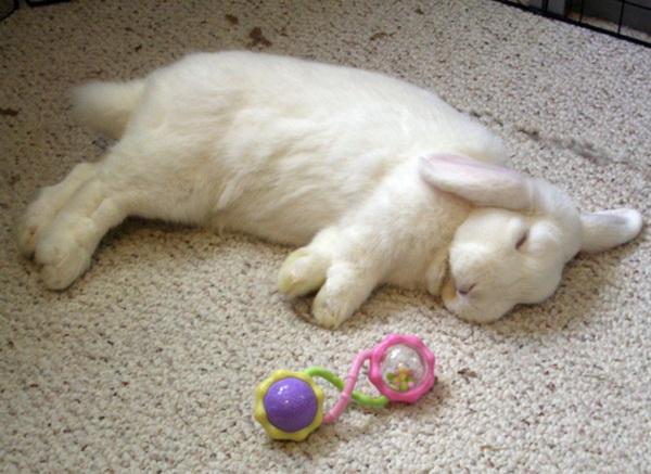 Белоснежный домашний ушастик спит