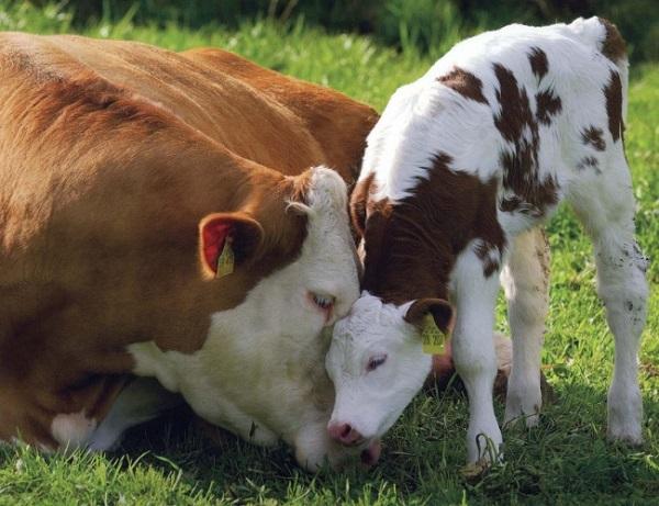 Малыш с мамой-буренкой